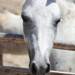 Pferd Sizilien